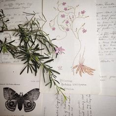 The Naturalist Melbourne... Original botanical drawings and notes, dated 1925 ....