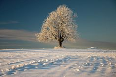 Frosty Oak Tree Photograph  - Frosty Oak Tree Fine Art Print