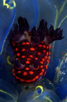 Nembrotha yonowae nudibranch