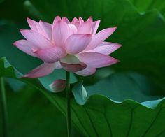 water lotus