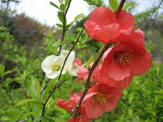 biodiverseed:  Japanese Quince (Chaenomeles japonica) plants,beautiful red flowers, and in their third year, will start producing an extremely fragrant fruit. The fruit is excellent for poaching, making chutney or mostarda, or just for use as a potpourri. Commonly trained as an espalier or bonsai, they can also be used as a dwarfing rootstock for certain pears and apples (with a crabapple interstock). Photos: Reggaeman on Wikimedia Commons; Eat The Roses; Rodney Legg; BonsaiTonight