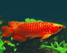 Ikan Arwana http://ruparupaikan.blogspot.com/2014/08/ikan-arwana.html