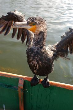 Cormorant fishing - Getting ready for another dive