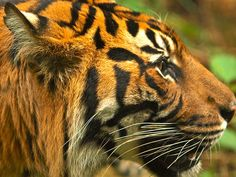 Royal Melbourne Zoo participates in an active program to reclaim land in Sumatra as a wildlife haven for Sumatran tigers, which are critically endangered, as well as participate in a captive breeding program to ensure the survival of this magnificent animal. But, without a wild and free population, what would be the point?
