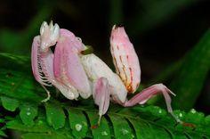 Praying Mantis Orchid