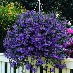 scaevola. Scaevola_blue_hangingbasket; Scaevola_blue_zoom0;  Sacevola_blue_zoom; 4 Inch Pots