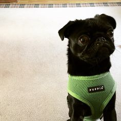 Puppia Green harness at www.ilovepugs.co.uk sizes xs-xxl post worldwide