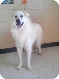 6/7/14 Spokane, WA - Great Pyrenees Mix. Meet Pierce, a dog for adoption. http://www.adoptapet.com/pet/10922691-spokane-washington-great-pyrenees-mix