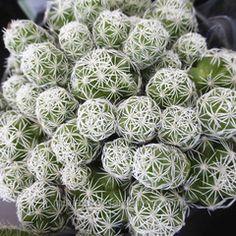 Mammillaria gracilis fragilis, Cactus