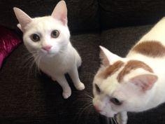 i sat down as you said...wait a minute?!im not a dog!!  #cat #pet #petsitter #setagayaku #cute #かわいい #猫 #白猫