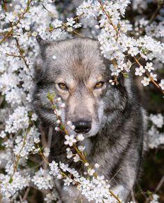 Hera(female) Wolf Love, Bad Wolf, Beautiful Creatures, Animals Beautiful, Wild S. Beautiful Creatures, Animals Beautiful, Wolf Photos, Wolf Pictures, Wolf Love, Bad Wolf, Wolf Wallpaper, Animal Wallpaper, Cute Baby Animals