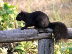 Black Squirrel... I've only seen one and it was beautiful.