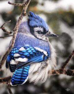 Blue Jay Looking Cold Photograph by Peg Runyan
