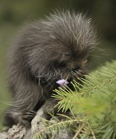 redwingjohnny:  bb porcupine eating a flower :)