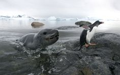 Wildlife photographer Ben Cranke took this photo of a leopard seal chasing a gentoo penguin up the beach on Cuverville Island, Antarctica