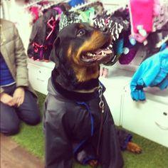 INK361 - Photo - Alejandro #Rottweiler con su impermeable 4patas nuevo.