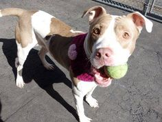 TO BE DESTROYED- 3/24/2015 Manhattan Center-P  My name is HAZEL. My Animal ID # is A1029950. I am a female white and tan pit bull mix. The shelter thinks I am about 4 YEARS old.  I came in the shelter as a OWNER SUR on 03/10/2015 from NY 10467, owner surrender reason stated was MOVE2PRIVA. https://www.facebook.com/photo.php?fbid=977070182305861