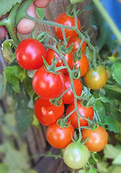 Peacevine Cherry: Mid-season, indeterminate. The crew at Golden Rule Garden was really impressed with this one and grew seed for us. An early red slicer especially for areas with cold spring weather and cloudy, difficult conditions. Very prolific with real tomato flavor.