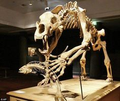 The skeleton of a cave bear, Ursus spelaeus, is shown hunting for salmon. Such bears lived between 200,000 to 20,000 years ago.