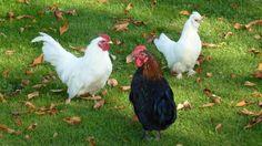 Hühnerschar (Gogo, Gigi und Judy)