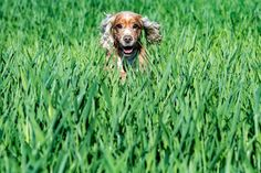 Happy - Happy young english cocker spaniel while playing in the grass field