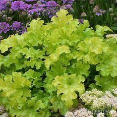Plant Profile for Heuchera 'Lime Ruffles' - Fancy-leaf Coral Bells Perennial