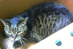 Petango.com – Meet Wilfred, a 8 years Domestic Shorthair / Mix available for adoption in DECATUR, GA