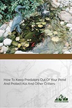 Here are some of the ways you can keep predators like herons, egrets and raccoons away from your pond without harming them, your pond or the environment. via @groundskeeper73