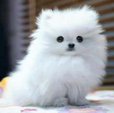 white teacup pomeranian puppy Aaww its a lil white fluff ball! White Pomeranian Puppies, Cute Puppies, Cute Dogs, Dogs And Puppies, Cute Babies, Doggies, Miniature Pomeranian, Cockapoo Puppies, Teacup Pomeranian Full Grown