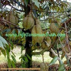 Beberapa Jenis Tanaman Buah Durian Unggulan | Info Tanaman Buah