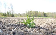 """Yksinäinen kasvi ©Elmeri Haikala: """"Kuvassa on pellon ensimmäinen kasvi."""""""