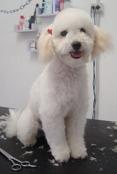 barboncina nana a fashion dog