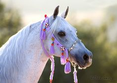 Arabian horse - Love the elegance of Arabian horses and the ornate tack they wear so well.