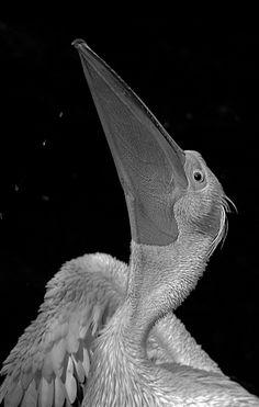 500px / Photo pelican by Kinga Wystub