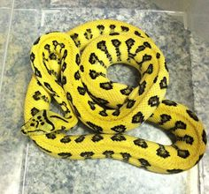 Psychotic Exotics added 9 new photos to the album: KFK. Les Reptiles, Reptiles And Amphibians, Snake Breeds, Terrarium Reptile, Burmese Python, Quokka, Ball Python, In The Tree, Concept Art