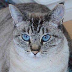 This beautiful, blue eyed girl is Treena.  If you have an awesome pic of your pet use the hashtag  #millwoodseastpets or send us a Facebook message with the pic attached.  #edmontonvet