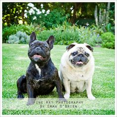 French Bulldog and Pug.  Phoographed by Emma O'Brien http://emmaobrien.com  #pug #frenchbulldog #dogs #smalldogs #dogphotos