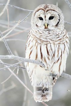 Barred owl. Not quite a snowy owl, but very similar in color. I finally found the original link! (I think.)