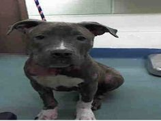URGENT - Manhattan Center    SOPHIE - A0995739   *** RINGWORM ***   SPAYED FEMALE, GRAY / WHITE, PIT BULL MIX, 7 mos  STRAY - ONHOLDHERE, HOLD FOR ID  Reason PET HEALTH   Intake condition ILLNESS Intake Date 04/04/2014, From NY 10460, DueOut Date 04/07/2014 https://www.facebook.com/Urgentdeathrowdogs/photos_stream