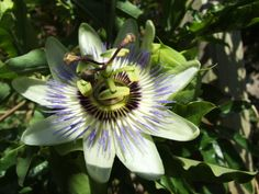 The Passion Flower appears in September