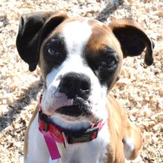 Hi! My name is Carlie! I was picked up by animal control and was in the shelter until the wonderful people at ABR rescued me. I am so thankf...