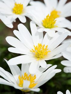 You'll discover many plants that put on a big, bold, dramatic show at the Denver Botanic Garden. But watch for smaller, more subtle beauties such as these anemones. Though their blooms are only the size of a half dollar, they're full of charm./