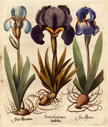 Vintage Botanical Print - Iris Beautiful vintage botanical print of 3 different colored irises and bulbs. Gorgeous vintage wall art for your home. Vintage Botanical Prints, Antique Prints, Botanical Art, Botanical Illustration, Science Illustration, Botanical Tattoo, Vintage Prints, Bulb Flowers, Floral Illustrations
