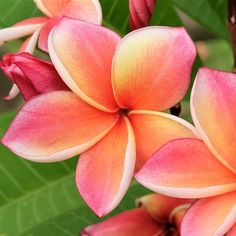 Plumeria Plant, Select Pink Rainbows - Fragrant potted plant – Easy To Grow Bulbs Big Plants, Exotic Plants, Potted Plants, Flower Lei, Flower Pots, Growing Flowers, Planting Flowers, Plumeria Tattoo, Growing Vegetables In Containers