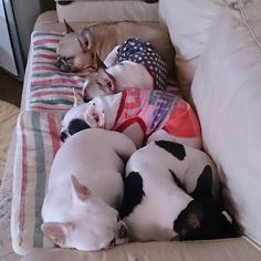 ❤ Happiness is .... a couch full of Frenchies!