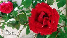 Rosa trepadora | Flickr - Photo Sharing!