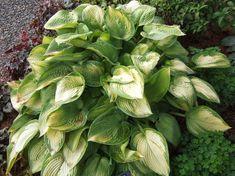 'Paradigm' bears golden leaves with irregular blue-green edges. A vigorous grower, can reach 4 feet wide. Hosta Plants, Heuchera, Shade Perennials, Lavender Flowers, Purple Flowers, Outdoor Plants, Outdoor Gardens, Hosta Varieties, Gardens
