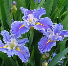 Louisiana Iris 'Swirling Waters'