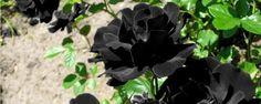10 flores negras que você precisa conhecer - Você já parou pra pensar em como é difícil encontrar flores pretas? Sim, elas existem! Mas como são raras, não são vistas em grande escala. Na verdade essa coloração depende de um elemento químico chamado antocianina, que somente uma pequena parte das plantas possui e é capaz de formar pétalas ma... - http://www.ecoadubo.blog.br/ecoblog/2015/11/07/10-flores-negras-que-voce-precisa-conhecer/