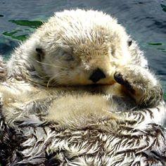 The California sea otter population has seen a sharp decline in the past four years.
